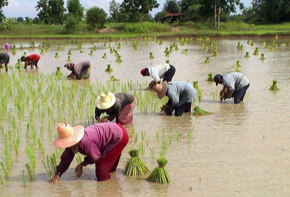Rice Field wikimedia commons